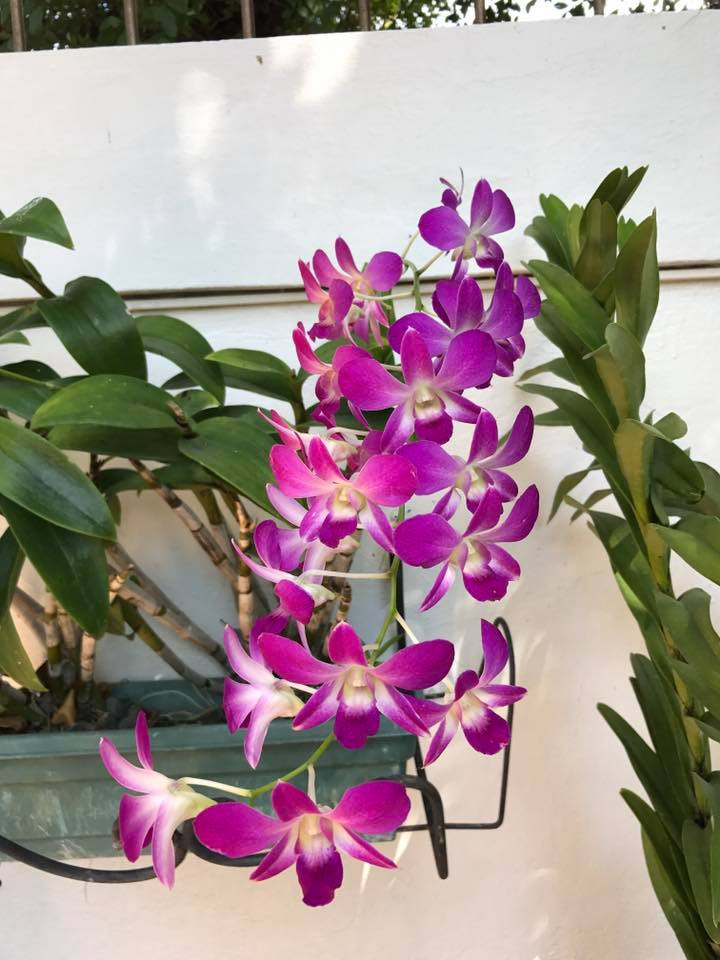 orchids-dominican-republic