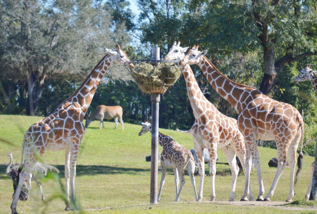giraffes at busch gardens tampa bay
